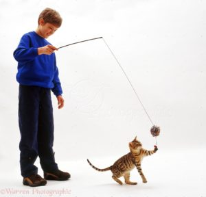 Joseph playing safely with a very active young Brown Spotted Bengal cat, by using a fishing rod toy.